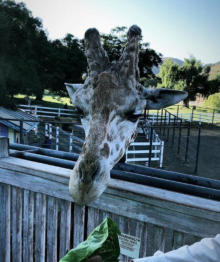 饲养员上线!- 布克在动物园喂食长颈鹿