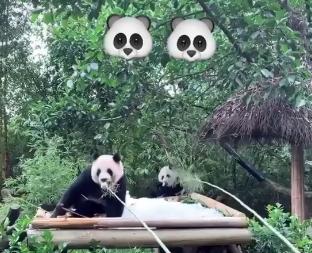与国宝互动!韦德与哈斯勒姆在广州喂大熊猫